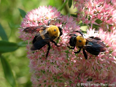 Bumblebees on Sedum Autumn Joy