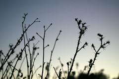 Thorns 4