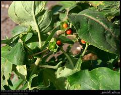 Ashwagandha, Withania somnifera, Plant in Garziz, Salalah, Dhofar