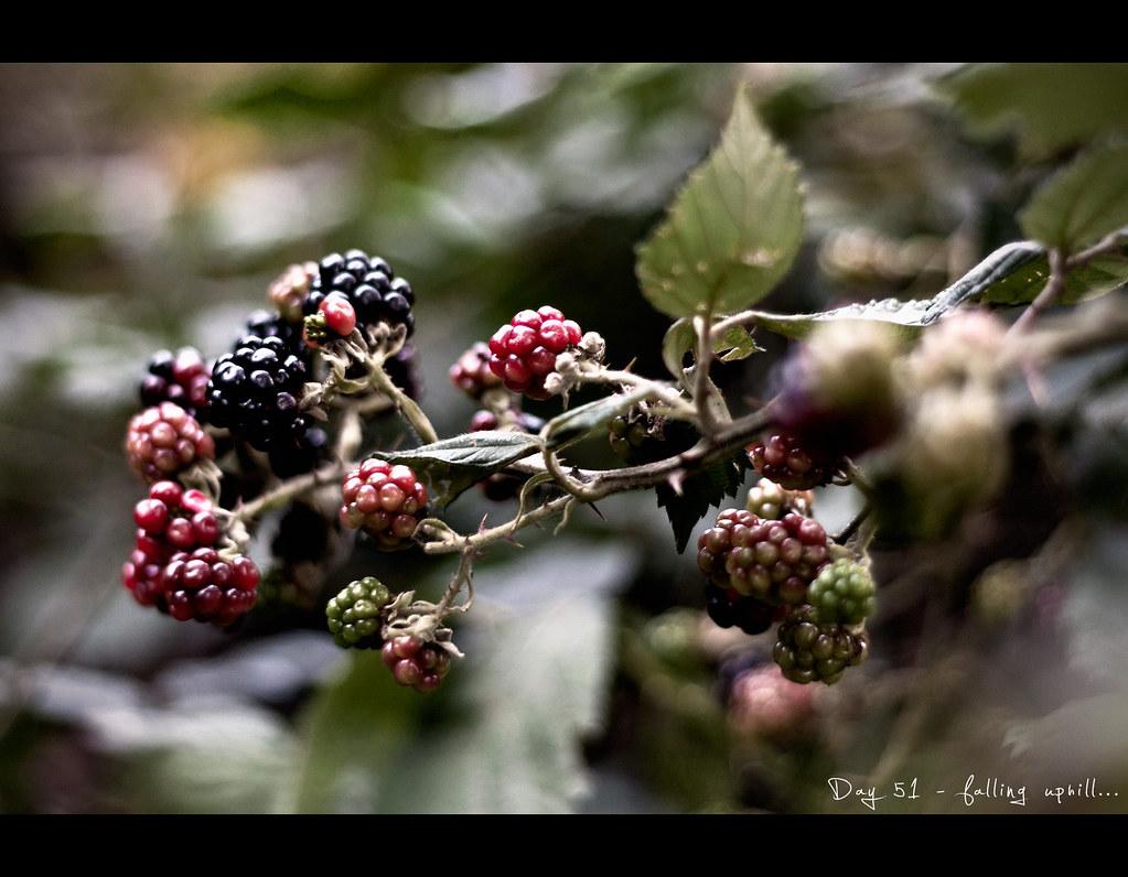 Day 51, 051/365, Project 365, berries, brambleberry, Brombeere, bokeh