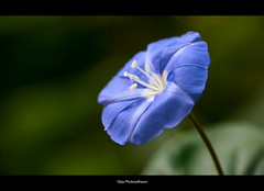 YAM (Yet another macro) (Vijay..) Tags: blue flower macro green nature composition bokeh raynoxdcr150 minimalisim vijayphulwadhawa