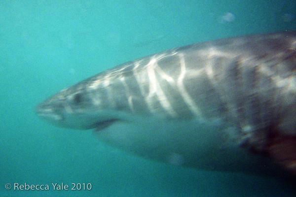 RYALE_Great_White_Shark_Diving-2