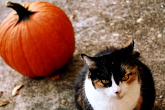 I'm thinking about fall. (Amanda beth.photography) Tags: autumn orange fall leaves cat pumpkin afternoon