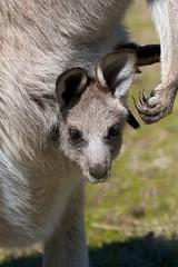 Joey and the claws on Mum's paw (Geoff Main) Tags: joey australia kangaroo canberra act canon30d easterngreykangaroo tidbinbillanaturereserve canonef100400f4556lisusm