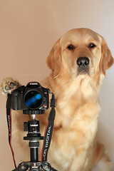 {39/52 2010} Tagged ~ Novice Photographer (VeryViVi) Tags: dog cute english goldenretr