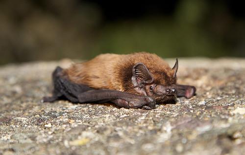 Leisler's Bat (Nyctalus leisleri)