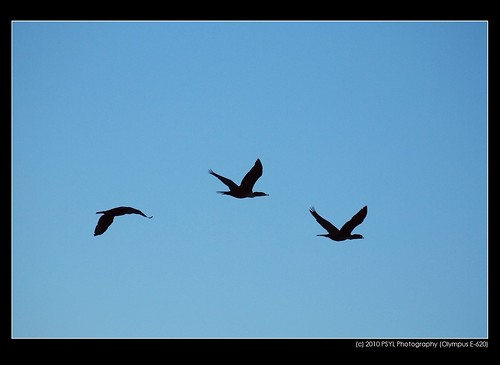 Cormorants in flight