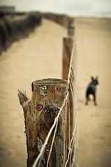 Mi guardaespaldas / My bodyguard (11Rue) Tags: dog beach fence sand dof nikond70 dunes playa arena frenchbulldog jazzy dunas bodyguard valla guardaespaldas bouledogue thelittledoglaughed flickraward 11rue