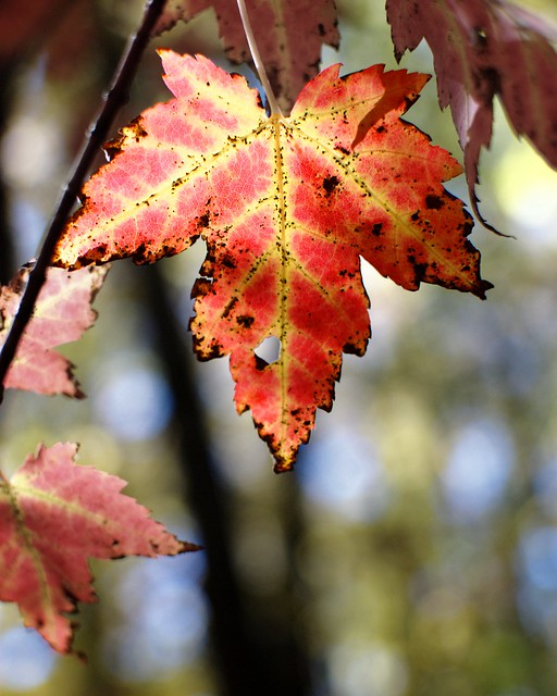 A brightly colored fall maple leaf.