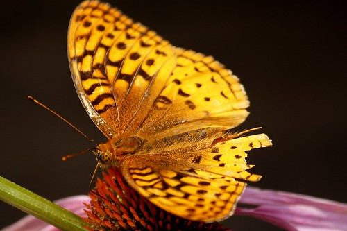 Great Spangled Fritillary on Echinacea   4