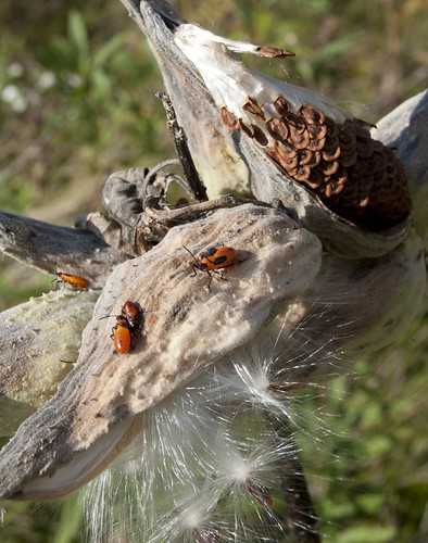 Milkweed Pods, Seeds, Bugs