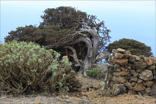 The famous Juniperus phoenicea trees at El Sabinar