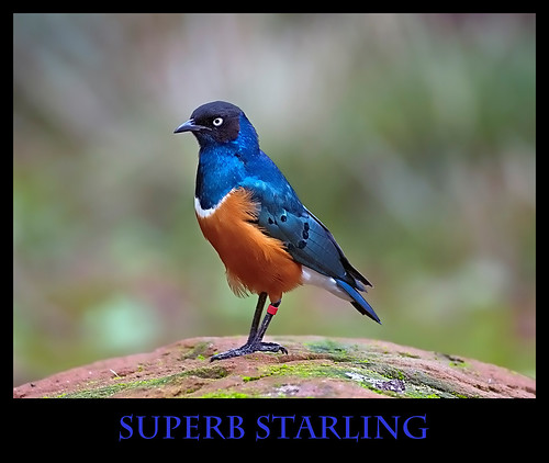 The aptly named Superb Starling