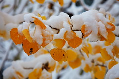 Winter is knocking at the door (DM Weber) Tags: california snow leaves yellow canon aspen bishop bishopcreek intimatelandscape eos5dmarkii psa148 dmweber