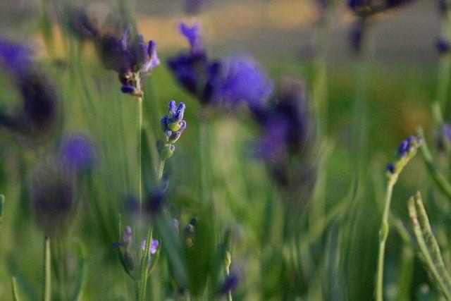 Lavender Smear