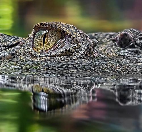 Croc Eye by Andrew JK Tan