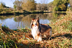 40/52: This Seems Like a Cheesy Painting (Kerfuffle~) Tags: autumn dog nature pond october fallcolor sheltie fen shetlandsheepdog 4052 natureycrap 52weeksfordogs