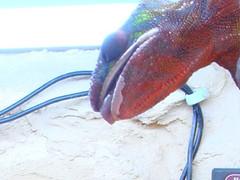 Zunge des Pantherchamäleons kurz vorm Zugriff