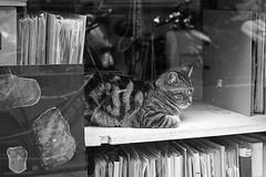 2 - 4 octobre 2010 Paris rue Blomet Chat dans une vitrine (melina1965) Tags: blackandwhite bw cats paris cat chats nikon october chat îledefrance noiretblanc façades 75015 façade octobre 2010 d80 15èmearrondissement afeasttotheeye
