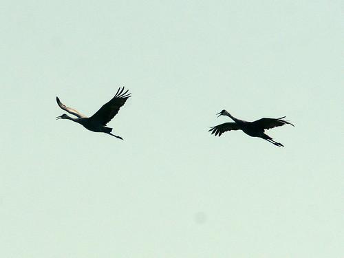 Sandhill Cranes 20101009