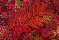 Red (GaidaFoto) Tags: pattern sgis taimed lehed punane