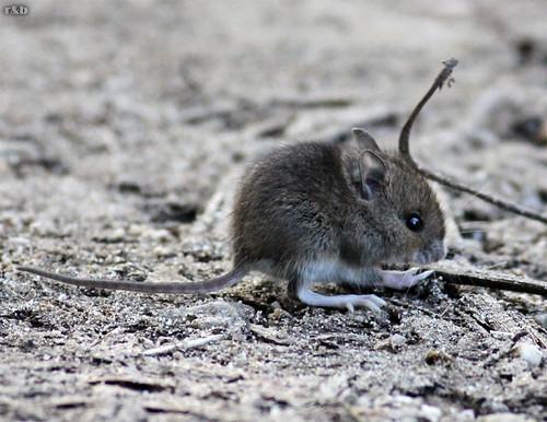 Rato-dos-bosques (Apodemus sylvaticus)