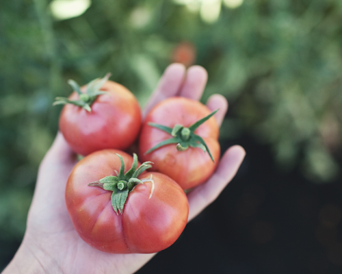 tomatos copy