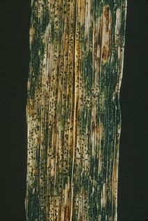 Septoria or Stagonospora blotch symptoms on wheat