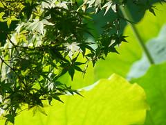 Verts (Petit Page) Tags: verde green japan garden leaf lotus jardin vert momiji shikoku takamatsu japon nihon rable feuille niwa ritsurinken