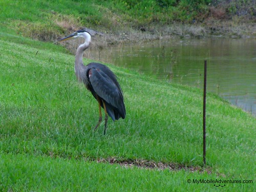 IMG_3988-Great-Blue-Heron