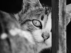 (Estrella de Queso) Tags: animal cat kitten chat gato felino mew gatito minino