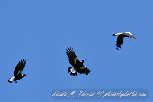 3 magpies