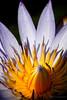 Little Lily (Lohb) Tags: waterlily littlelily