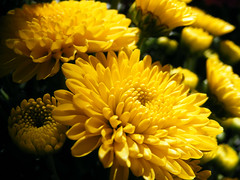 Golden Chrysanthemum flowers