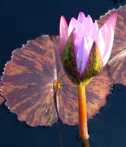 Autumn water lilies.