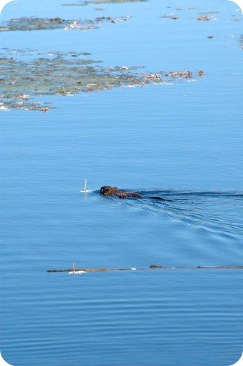Beaver? Muskrat? Water weasel? What?