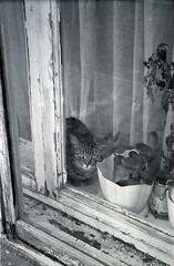000014__ (Ponyatovsky) Tags: street bw white black flower film window animal analog cat 35mm blackwhite eyes mju kodak gray olympus iso 400 mjuii bw400cn μ μmju olympusmjuiizoom115 thecatwhoturnedonandoff