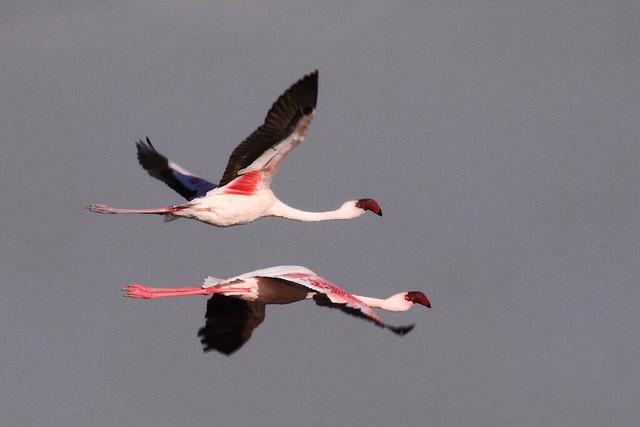Lesser Flamingo, Phoenicopterus minor, Kleinflamink