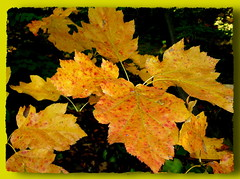 sárgák / yellow (debreczeniemoke) Tags: autumn yellow forest leaf sárga ősz erdő levél