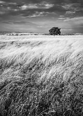 Lone Tree (B&W)