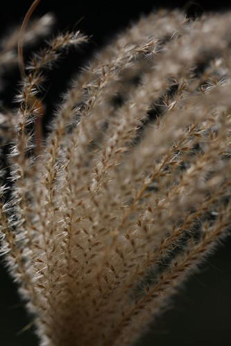 The Japanese pampas grass which shakes for wind