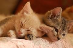 DSC_0625 (*lalalaurie) Tags: thanks kittens kitties lauriecinotto ibkc pleasedontusemypictureswithoutseekingmypermission ttybittykittycommittee ibkchug ibkcnap