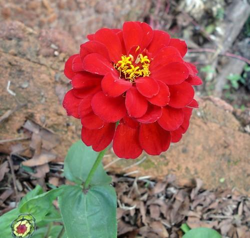 Flores no quintal