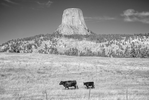 Cows at Devils Tower