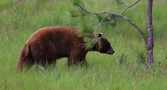 Black bear trying to hide behind a branch - it didn't work (Alaskan Dude) Tags: california travel waterfalls yosemitenationalpark canon30d yosemte natonalparks