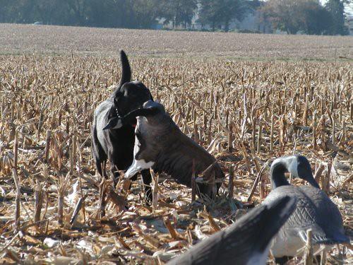 goose10-16-10buckthewonderdogrs