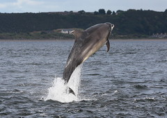 Moray firth bottlenose dolphin (Ally.Kemp) Tags: wild point scotland marine dolphin wildlife scottish dolphins mammals leap leaping breaching moray rosemarkie blackisle firth chanonry bottlenose breach fortrose rossshire
