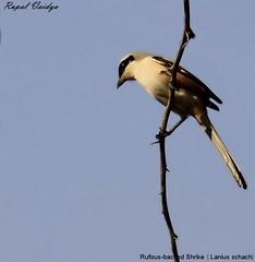 Rufous Backed Long Tailed Shrike (Lanius schach) (vaidyarupal) Tags: wild india bird nature birds aves avian gujarat ahmedabad shrike laniusschach longtailedshrike vaidyarupal canon55250mm canon1000d rupalvaidya