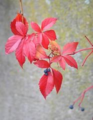 Red (GelsenBuer) Tags: autumn nature leaves leaf laub herbst natur harvest blatt bltter