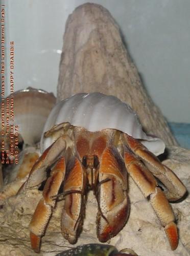 Coenobita variabilis